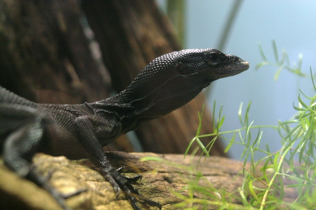 Black Tree Monitor (Varanus beccarii) - Wiki; Image ONLY
