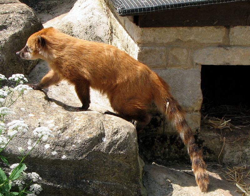 Ring-tailed.Coati.arp-Coatimundi (Nasua nasua).jpg