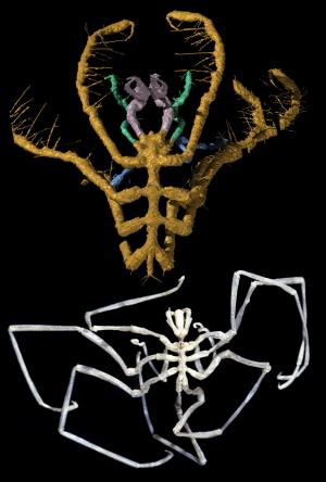 Ancient Sea Spider Fossils Discovered In Volcanic Ash [SciencDaily 2004-10-22]; Image ONLY