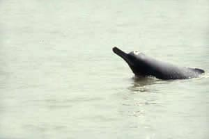 Ganges and Indus River Dolphin (Platanista gangetica) - Wiki; Image ONLY