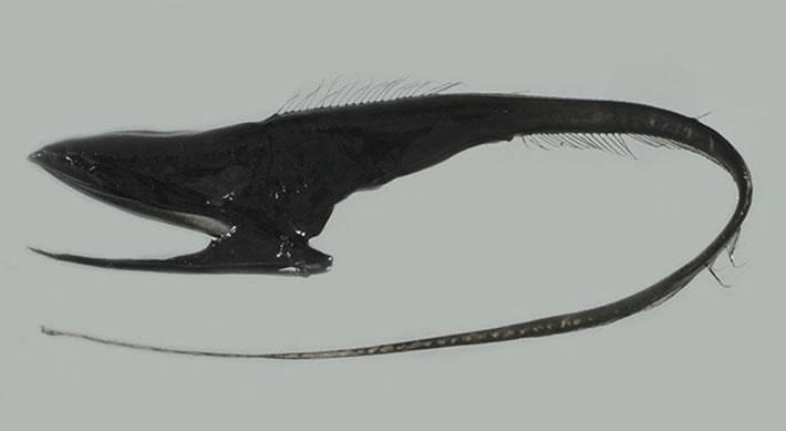 Umbrella mouth gulper eel.jpg