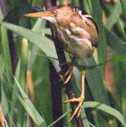 Bittern (Genera: Ixobrychus, Botaurus, Zebrilus) - Wiki