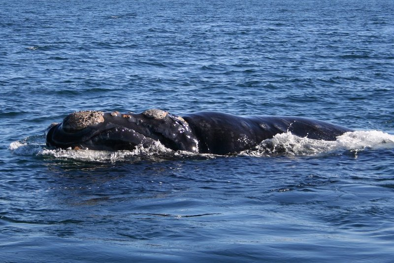 Southern Right Whale (Eubalaena australis) - Wiki; DISPLAY FULL IMAGE.