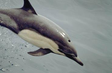 Common dolphin-Delphinus delphis.jpg