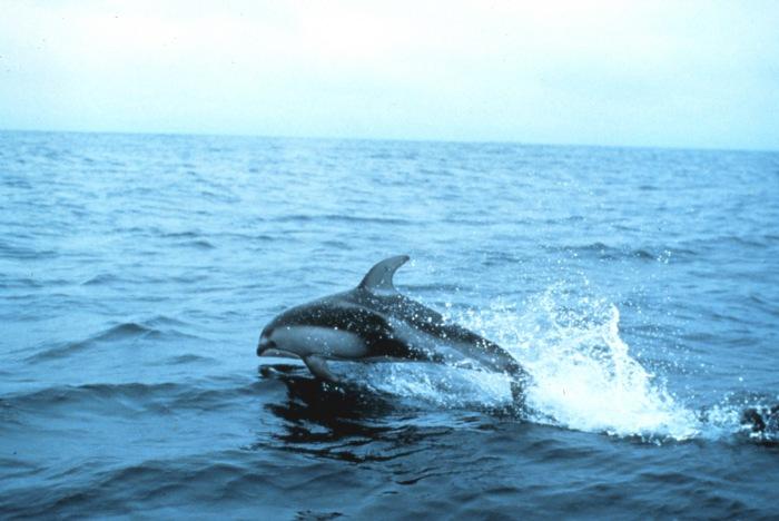Pacific White-sided Dolphin (Lagenorhynchus obliquidens).jpg