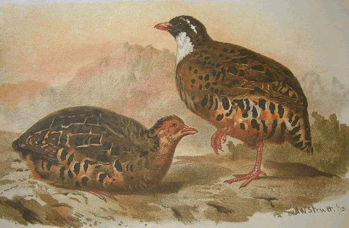 Painted Bush Quail (Perdicula erythrorhyncha) - Wiki; Image ONLY