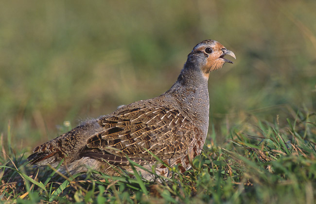 Grey Partridge (Perdix perdix) - Wiki; Image ONLY