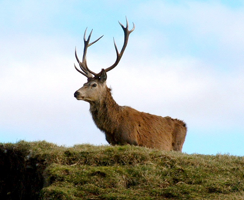 Red Deer (Cervus elaphus) - Wiki; Image ONLY
