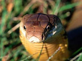 King Cobra (Ophiophagus hannah) - Wiki; Image ONLY
