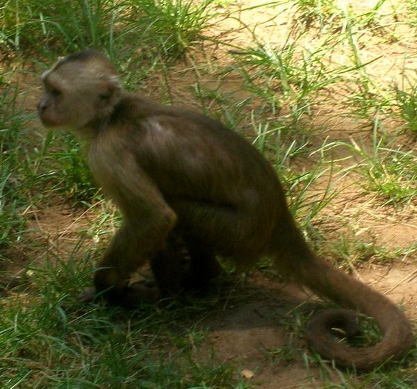 Weeper Capuchin 01 Cebus olivaceus.jpg