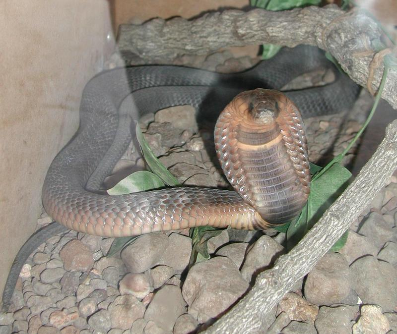 Egyptian Cobra (Naja haje) - Wiki; DISPLAY FULL IMAGE.