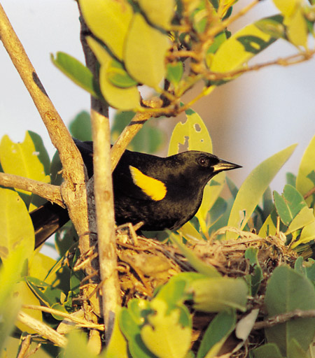 Yellow-shouldered Blackbird (Agelaius xanthomus) - Wiki; Image ONLY