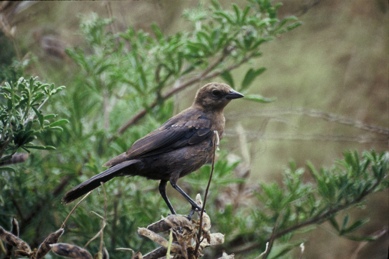 Cowbird (Family: Icteridae, Genus: Molothrus) - Wiki; DISPLAY FULL IMAGE.