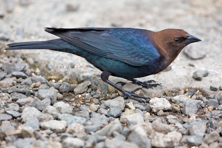 Brown-headed Cowbird (Molothrus ater) - Wiki; Image ONLY
