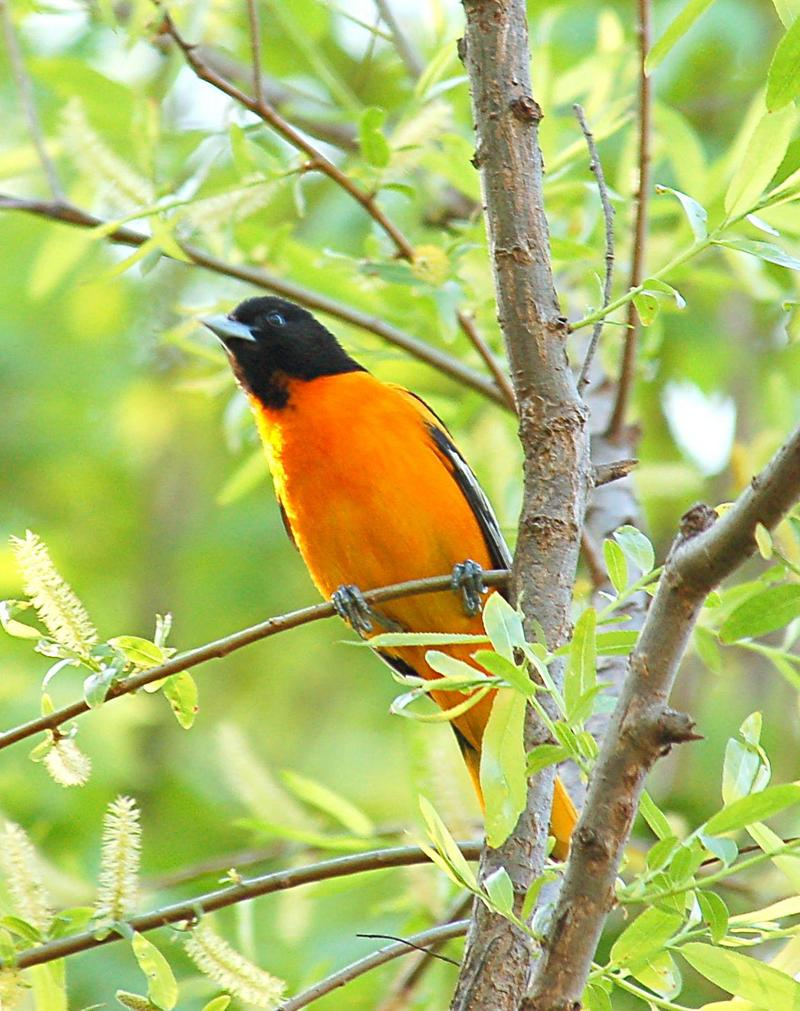 New World Oriole (Family: Icteridae, Genus: Icterus) - Wiki; DISPLAY FULL IMAGE.