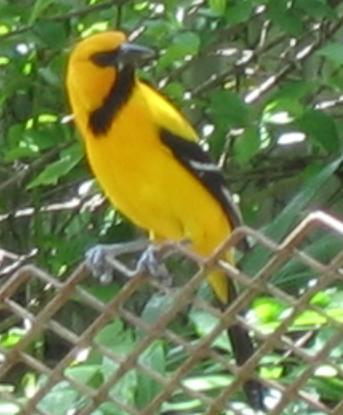South American Yellow Oriole (Icterus nigrogularis) - Wiki; Image ONLY