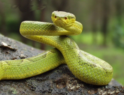 Indian Tree Viper (Trimeresurus gramineus) - Wiki; Image ONLY