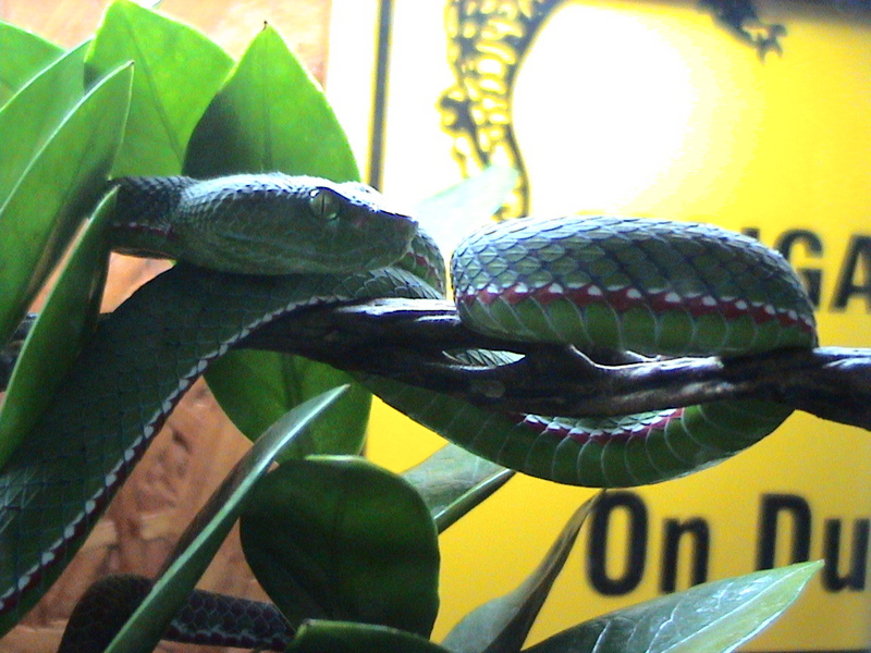 Pope's Tree Viper (Trimeresurus popeorum) - Wiki; DISPLAY FULL IMAGE.