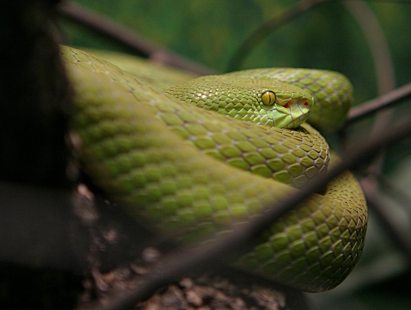 White-lipped Tree Viper (Trimeresurus albolabris); DISPLAY FULL IMAGE.