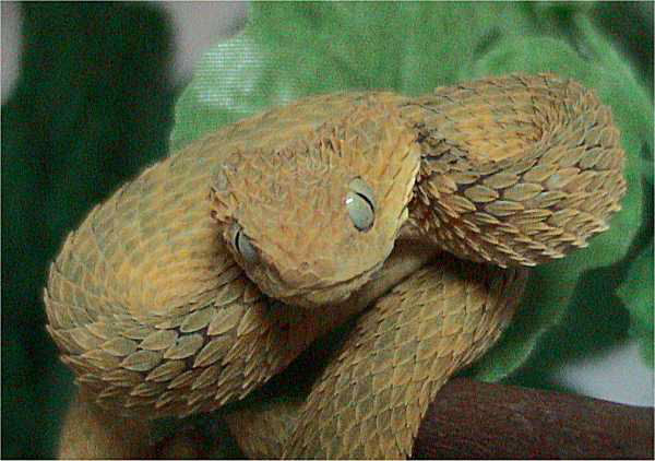 Green Bush Viper (Atheris squamigera) - Wiki; Image ONLY
