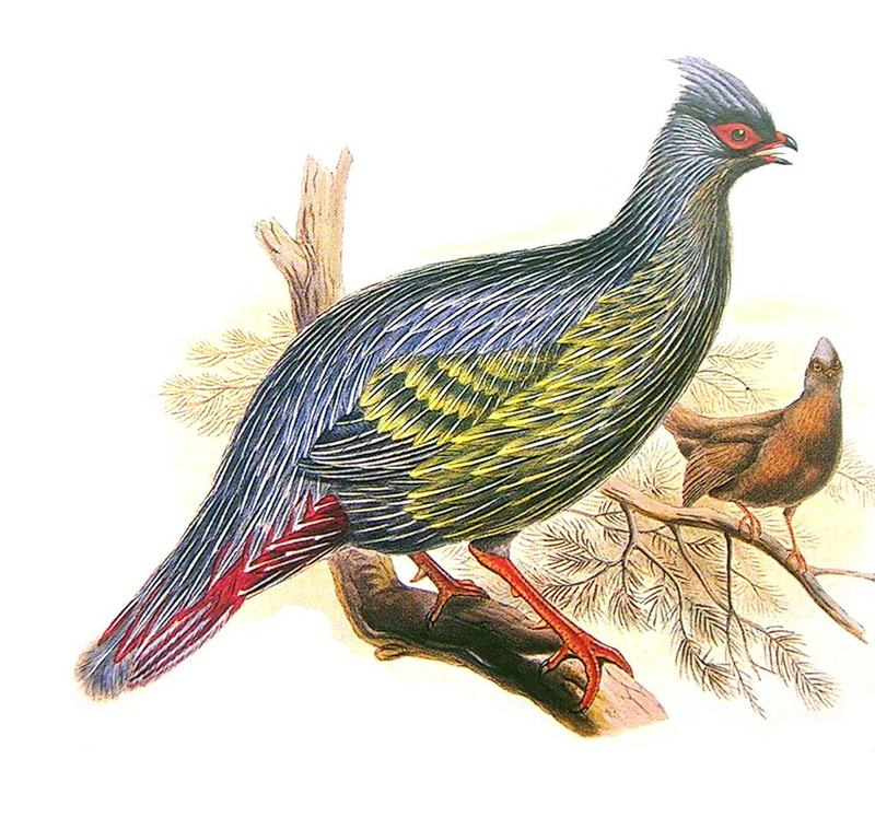 Blood Pheasant (Ithaginis cruentus) - Wiki; DISPLAY FULL IMAGE.