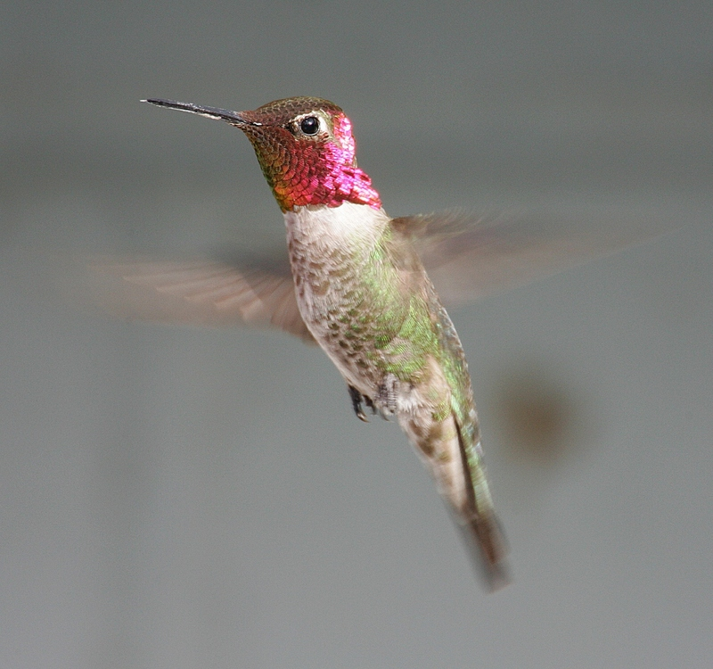 Anna's Hummingbird (Calypte anna) - Wiki; DISPLAY FULL IMAGE.