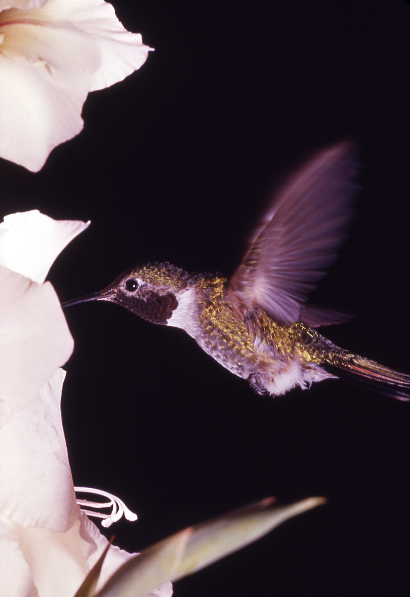 Broad-tailed Hummingbird (Selasphorus platycercus) - Wiki; DISPLAY FULL IMAGE.