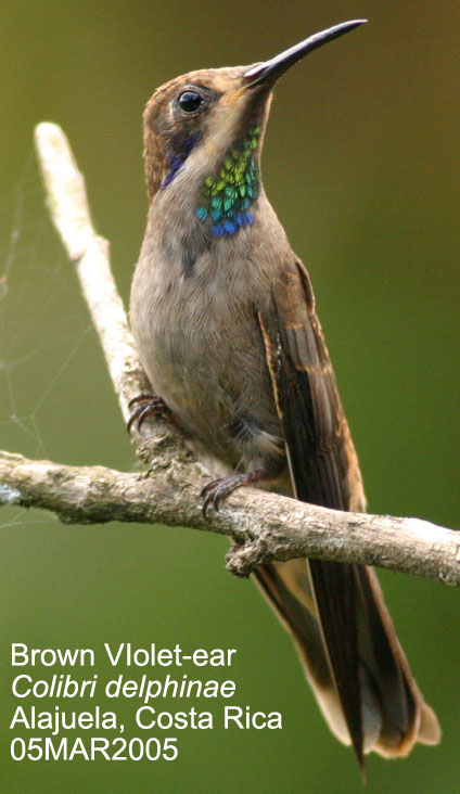Brown Violet-ear Hummingbird (Colibri delphinae) - Wiki; Image ONLY