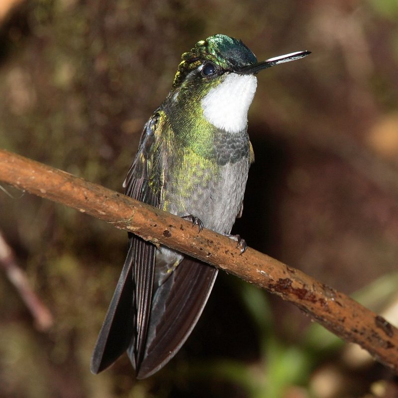 White-throated Mountain-gem Hummingbird (Lampornis castaneoventris) - Wiki; DISPLAY FULL IMAGE.