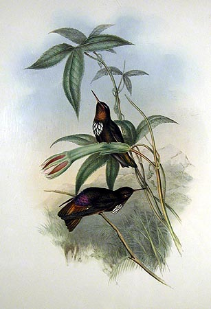 White-tufted Sunbeam Hummingbird (Aglaeactis castelnaudii) - Wiki; Image ONLY