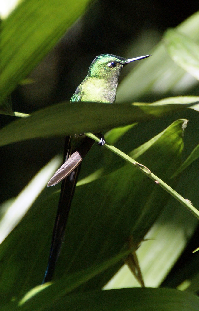 Long-tailed Sylph Hummingbird (Aglaiocercus kingi) - Wiki; Image ONLY