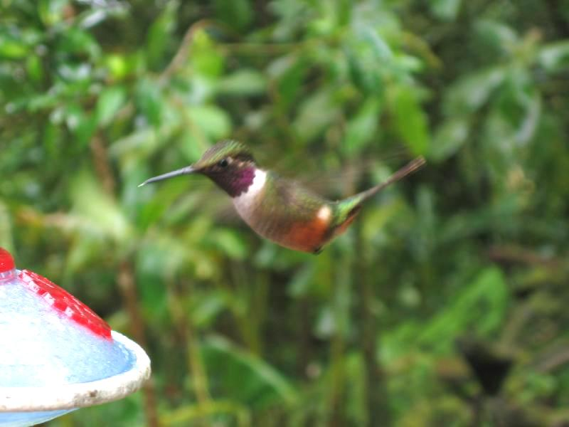 Magenta-throated Woodstar Hummingbird (Calliphlox bryantae) - Wiki; Image ONLY