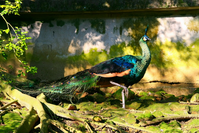 Green Peafowl (Pavo muticus) - Wiki; DISPLAY FULL IMAGE.