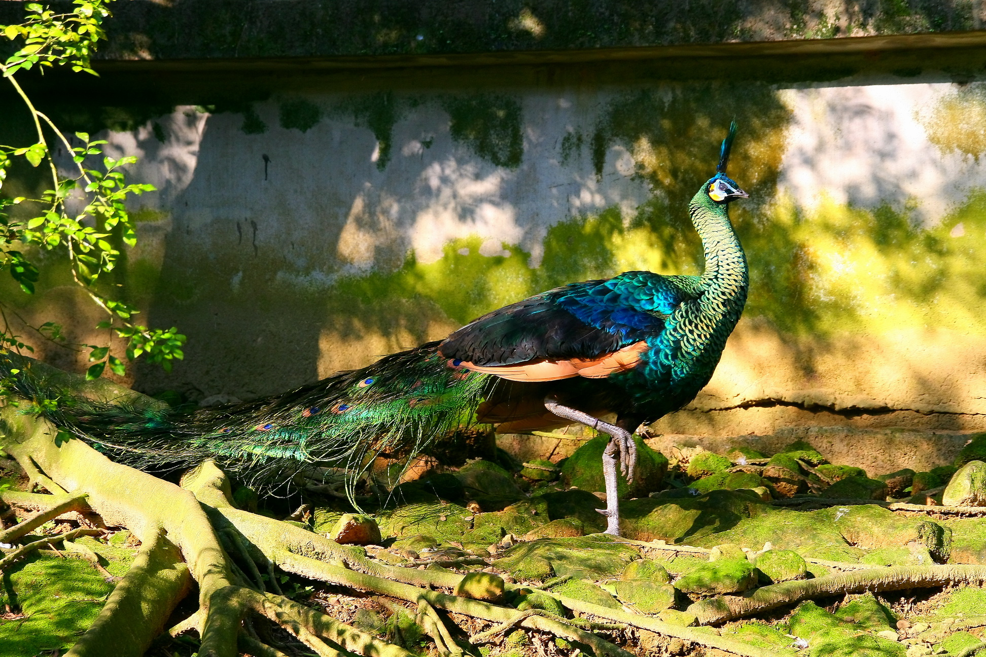 Green Peafowl (Pavo muticus) - Wiki; Image ONLY