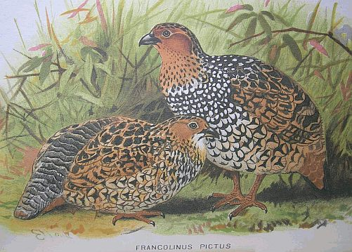 Painted Francolin (Francolinus pictus) - Wiki; Image ONLY