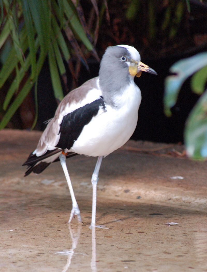 White-headed Plover (Vanellus albiceps) - Wiki; DISPLAY FULL IMAGE.