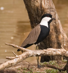 Spur-winged Plover (Vanellus spinosus) - Wiki; Image ONLY