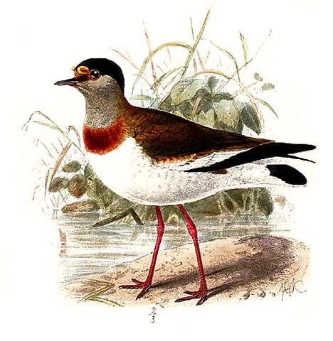 Brown-chested Lapwing (Vanellus superciliosus) - Wiki; Image ONLY