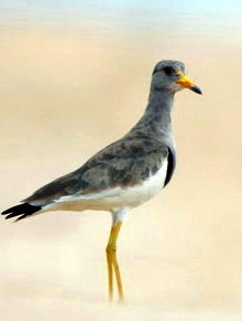 Grey-headed Lapwing (Vanellus cinereus) - Wiki; Image ONLY