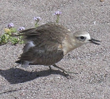 New Zealand Dotterel (Charadrius obscurus); Image ONLY