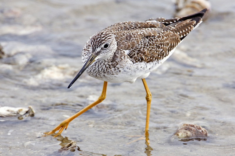Lesser Yellowlegs (Tringa flavipes) - Wiki; DISPLAY FULL IMAGE.
