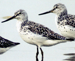 Spotted Greenshank (Tringa guttifer) - Wiki; Image ONLY