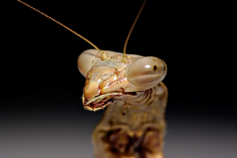 Praying Mantis (Order: Mantodea) - Wiki; DISPLAY FULL IMAGE.