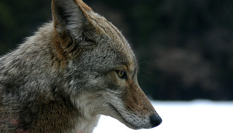Family: Canidae - Wiki; DISPLAY FULL IMAGE.