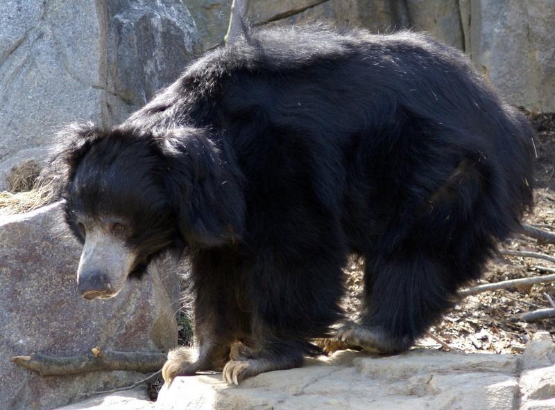 Sloth Bear (Melursus ursinus) Washington DC.jpg