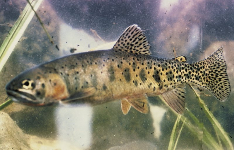 Cutthroat Trout (Oncorhynchus clarki) - Wiki; DISPLAY FULL IMAGE.