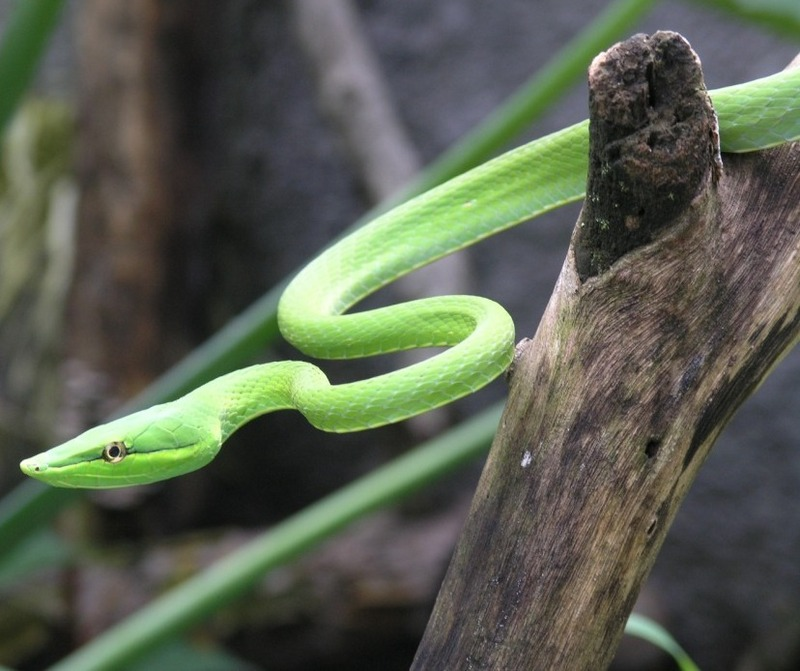 Green Vine Snake Eating Green Vine Snake Oxybelis