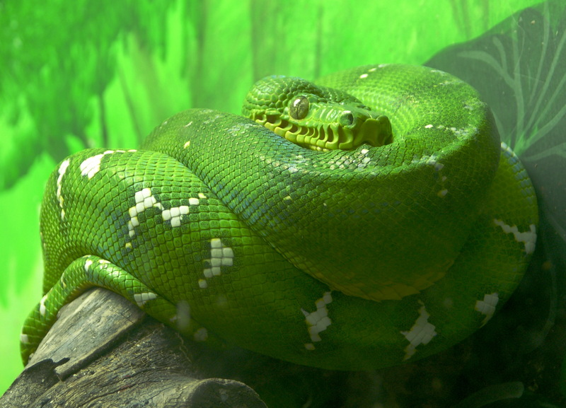 Emerald Tree Boa (Corallus caninus) - Wiki; DISPLAY FULL IMAGE.