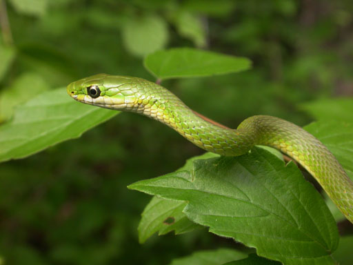 Rough Green Snake (Opheodrys aestivus) - Wiki; Image ONLY