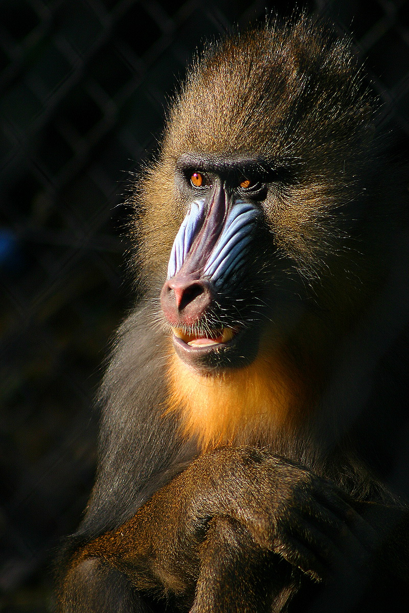 Mandrill (Mandrillus sphinx) - Wiki; Image ONLY